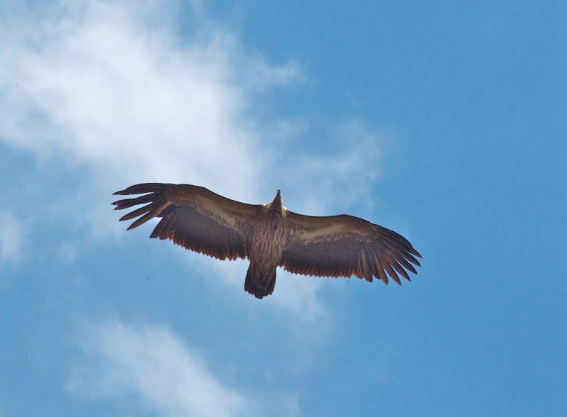 himalayan-griffon-vulture