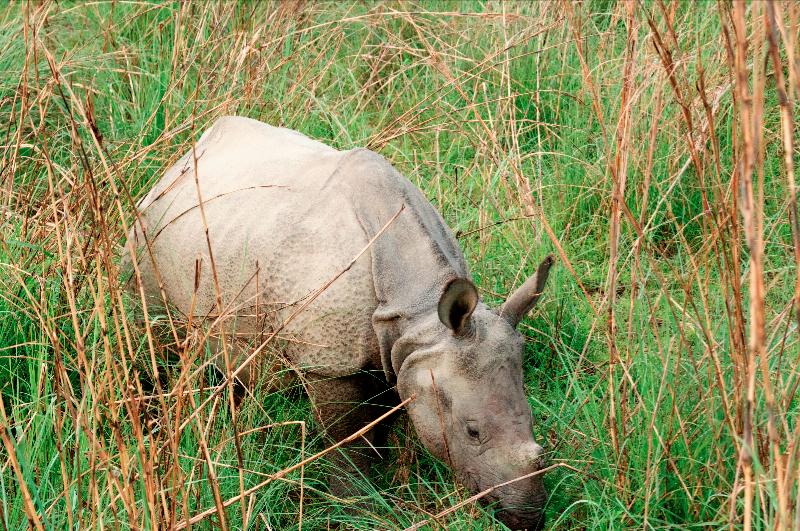 young-rhino-in-chitwan
