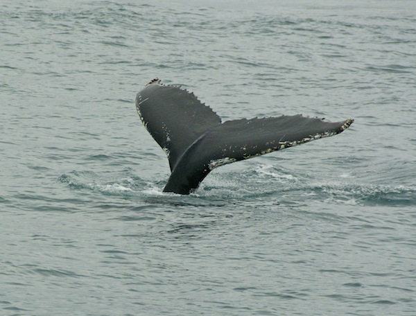 Humped back whale at Husavik