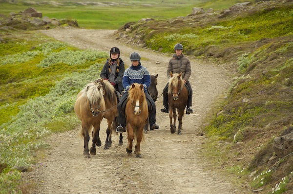 Small but incredibly strong Icelandic horses