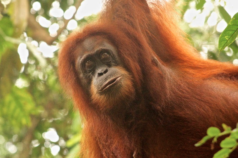 orangutan-of-gunung-leuser-national-park