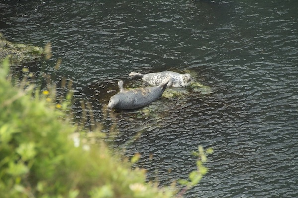Languishing Grey Seals