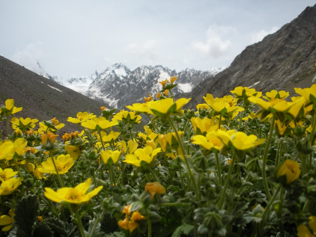 buttercups-and-mountains