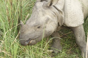 A female one horned white rhino