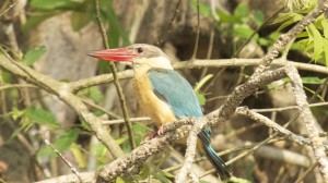 A Stork Kingfisher