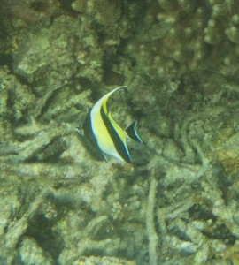 An Angel Fish swimming over a seabed of dead colal