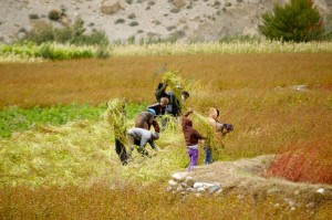 Gathering in the harvest in Chhusang