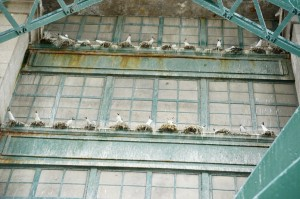 Nesting gulls on Tyne Bridge