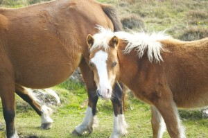A foal sticking close to its mother