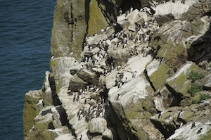 A colony of guillemots