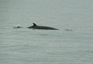 About as much as you are going to see of a Minke whale