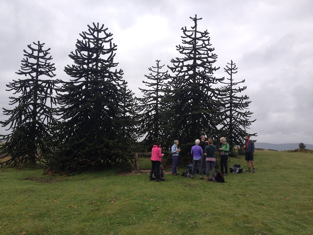 Coffee break at the monkey puzzle trees