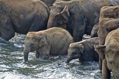 Bathing at Pinnawela Elephant Sanctuary