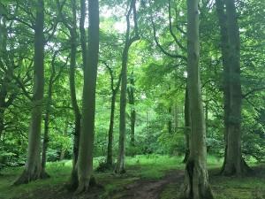 Beautiful beech woodland
