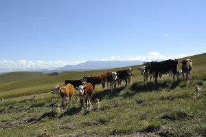 Cattle, horses, sheep and goats are free to roam where they please