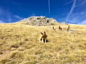 Mastiff guard dog