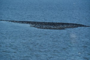 A raft of cormorants