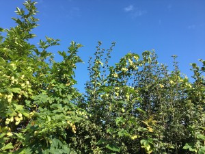 Hops growing wild in the hedgerow